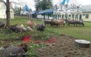 Berkeliaran Di Jalan, Puluhan Kerbau Diamankan Satpol PP Aceh Barat Daya