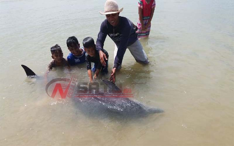 Warga Batang-batang Sumenep Dihebohkan Dengan Ikan Lumba-lumba