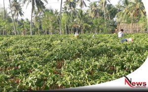 Petani Di Sumenep Resah, Harga Cabai Terus Anjlok