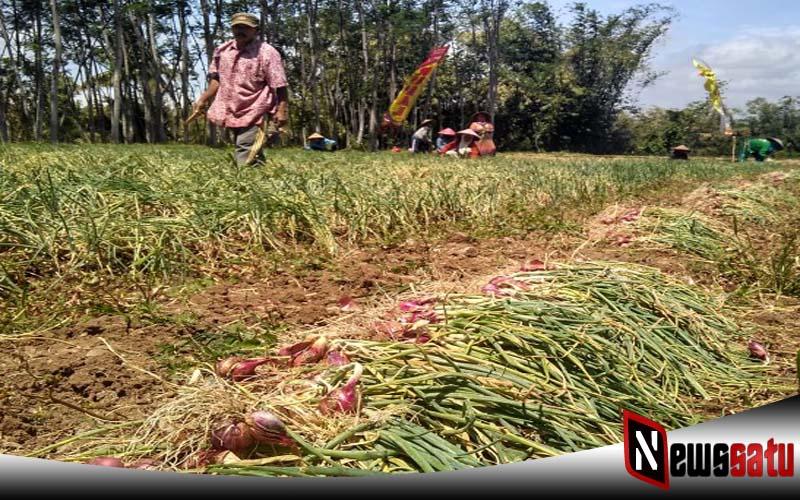 Harga Turun Drastis, Petani Bawang Merah Di Probolinggo Terancam Merugi