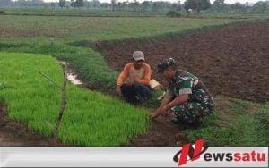 TNI Bersama Petani Bangkalan Tanam Padi