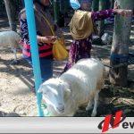 Jelang Idul Adha Harga Kambing Naik 100 Persen