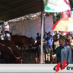 Ratusan Sapi Di Bondowoso Ikuti Kontes