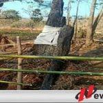 Warga Probolinggo Digegerkan Dengan Pohon Randu Alas
