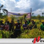 Pemuda Tani Di Bondowoso Panen Padi Dari Hasil Ubinan