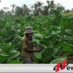 Petani Resah, Pemkab Pamekasan Evaluasi Pemantau Tembakau
