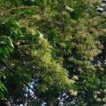 Pohon Bambu Di Probolinggo Jadi Tontonan Warga