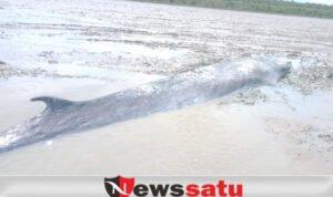Ikan Paus Terdampar Di Sungai Kong OKI
